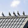 Jak ochronić dach przed ptakami